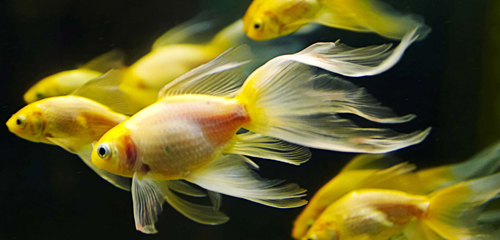 farines protéines poissons